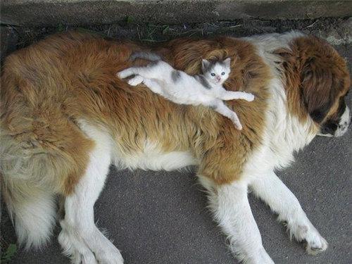 セントバーナードと猫11