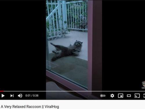 リラックスしたアライグマ