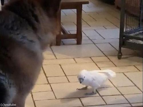 犬をワンワン吠えるオウム00