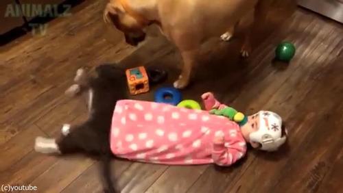 赤ちゃんに蹴られた猫、犬に八つ当たり01