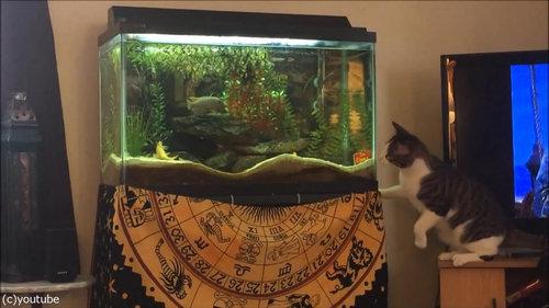 水槽を狙う猫01