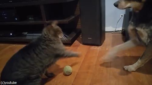 ボールで遊びたい犬と猫04