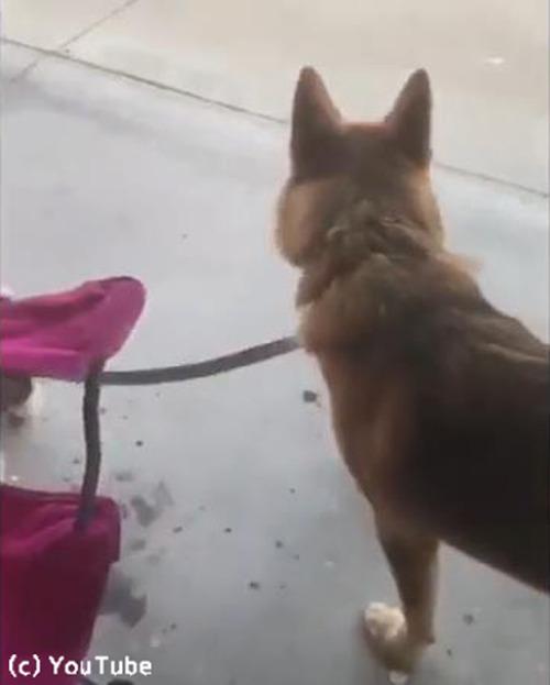 子犬の散歩に付き合う犬01