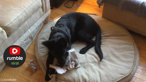 犬にお気に入りのおもちゃを選ばせたら…04