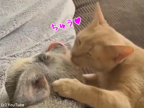 猫がブタにお目覚めのチュウ00
