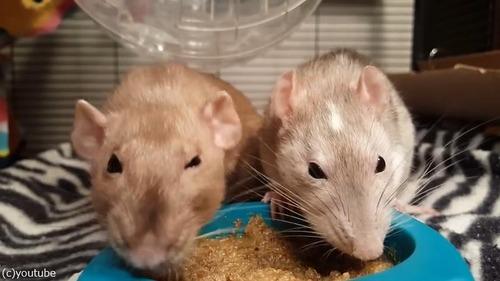 ネズミの食事バトル05