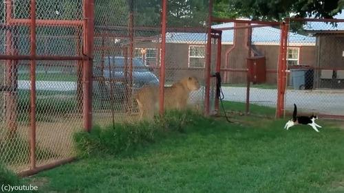 ライオンを挑発する猫06