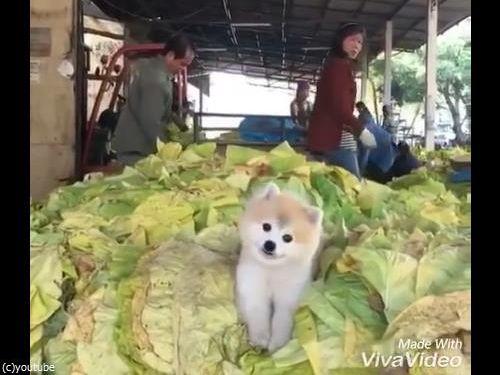 キャベツの山で微笑む犬03