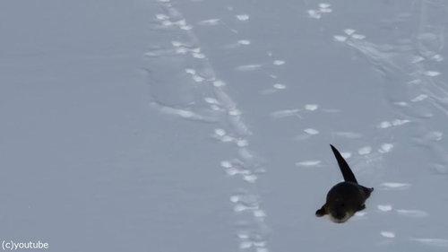 雪をすべるカワウソ04