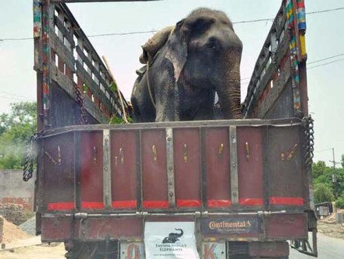 50年間インドで監禁されていたゾウが救出される08