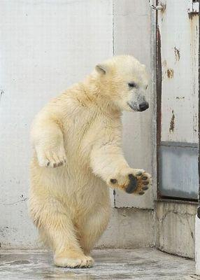 白クマのダンス02