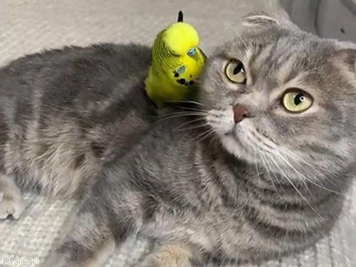 猫の頭の上でフリフリするインコ00