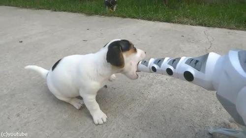 ロボ恐竜に戦いを挑む子犬たち04