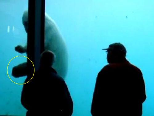 白クマが巨大石を使ってガラスを割る02