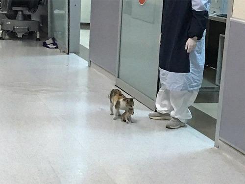病気の子猫をママ猫が病院に連れてきた00