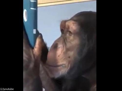 スマホを使いこなすチンパンジー00