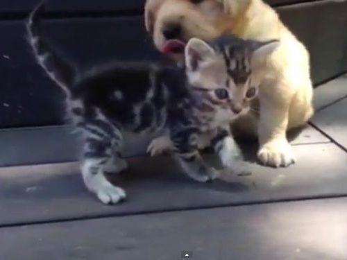 ゴールデンレトリバーの子犬と子猫01
