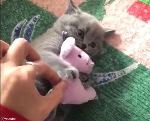ぬいぐるみを離さない子猫03