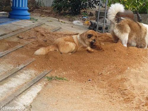 土をかぶり続ける犬03