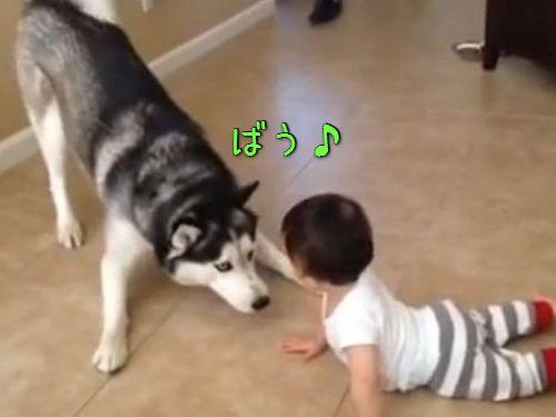 赤ちゃんとハスキー00