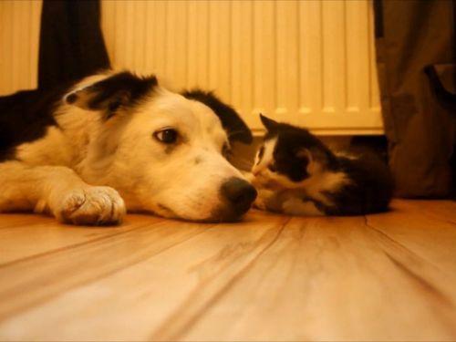 子猫を見守る犬たち01