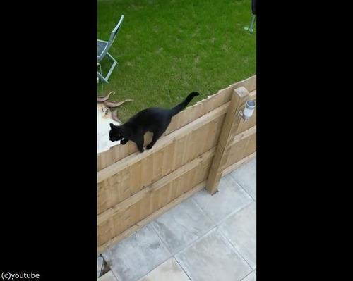 柵の上を歩く猫がちょっとおかしい02