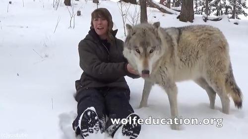 懐きまくりのオオカミが可愛過ぎる01