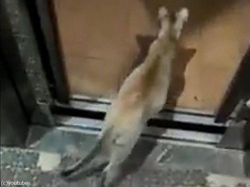 エレベーターの降りる階を理解してる猫05