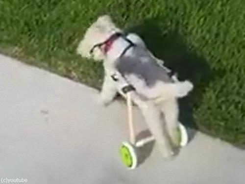 足が不自由な犬の車いす01