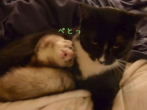 フェレットと猫00