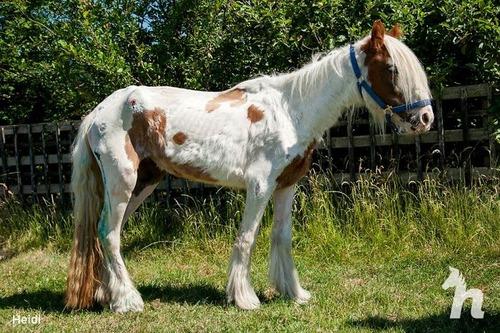 死にかけていた馬が神々しいほど美しくなる06