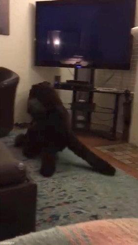テレビが消えると「よいこは寝る時間」と自室に戻る犬08