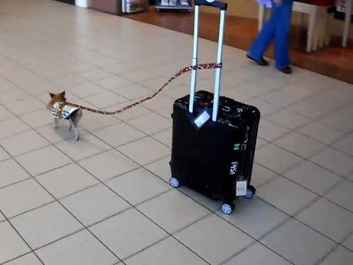 空港で荷物を運ぶ犬01