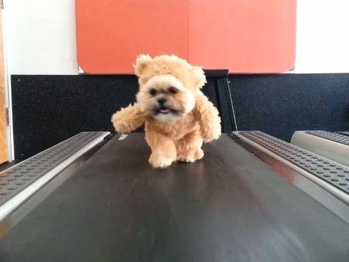 テディベアを着たシーズー犬がルームランナーを歩く01