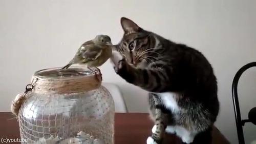 鳥を優しくさわる猫04