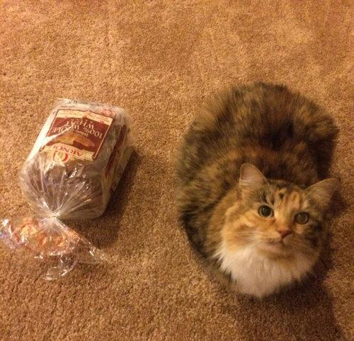猫の「香箱座り」をパンの塊という理由01