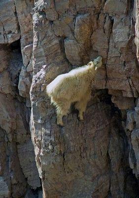 ヤギの崖を登る能力02