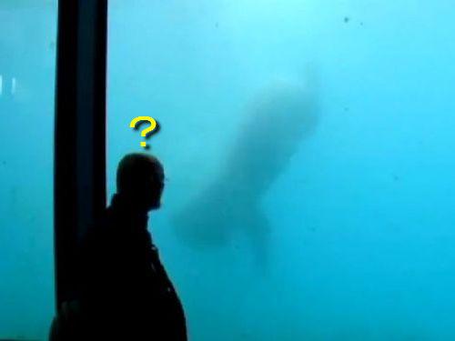 白クマが巨大石を使ってガラスを割る00