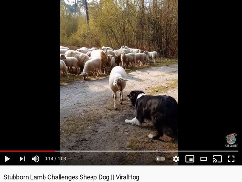 恐れ知らずな羊、牧羊犬に立ち向かう