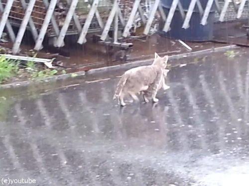 雨の日に子猫をくわえて走る母猫04