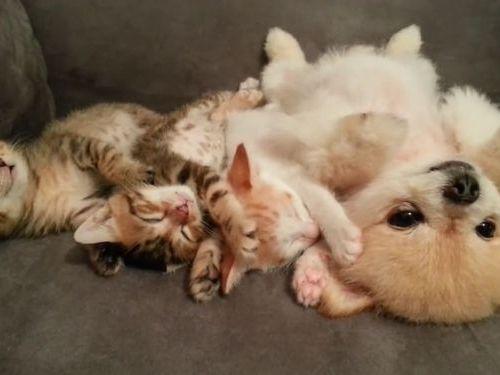 子猫と子犬をあお向けに寝かせると01