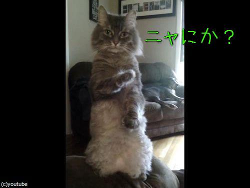 人間のように立つ猫00