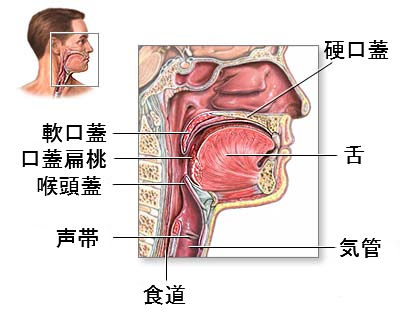 throat-anatomy2