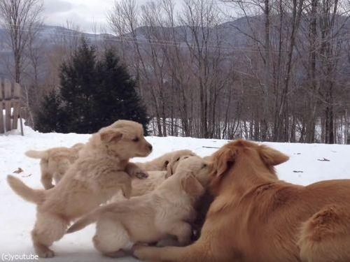 ママ犬とじゃれる子犬たち02