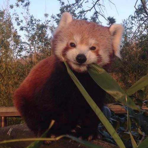 笹を食べるレッサーパンダ02