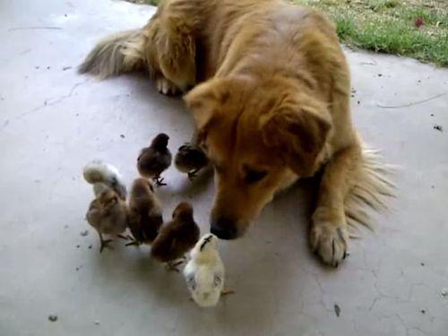 ヒナを育てる犬の養母01