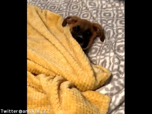 自分で毛布を掛けられるワンコ00