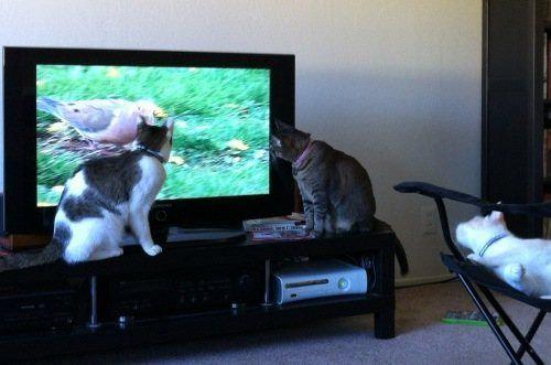 テレビを見るのを邪魔する猫03