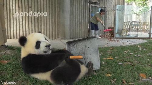 子パンダたちの前で掃き掃除07