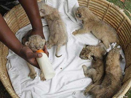 ライオンに8匹の赤ちゃん00